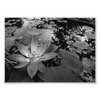 Black White Water Lilly Photo Print