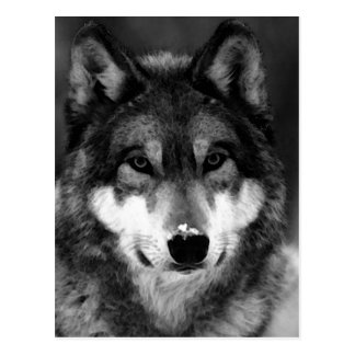 Black White Wolf Post Card