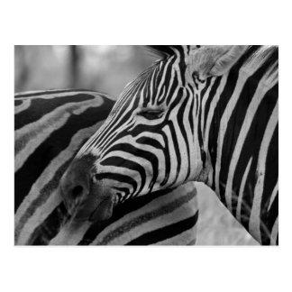 Black/White Zebra Postcard