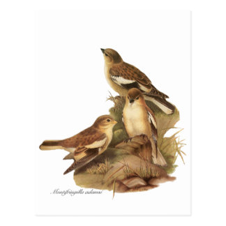 Black-winged Snowfinch fl Postcard