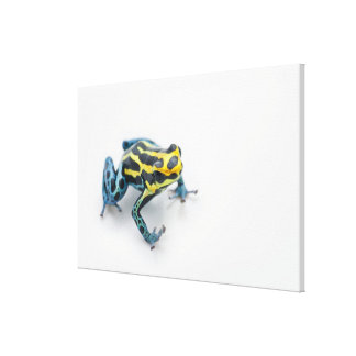Black, Yellow and Blue Poison Dart Frog Canvas Print