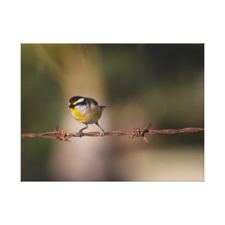 BLACK,YELLOW WHITE BIRD PARDALOTE ON FENCE STRETCHED CANVAS PRINTS