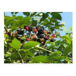 Blackberries bunch