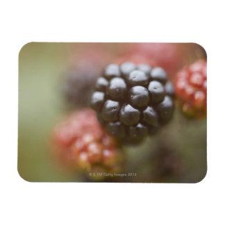 Blackberries close up. rectangular photo magnet