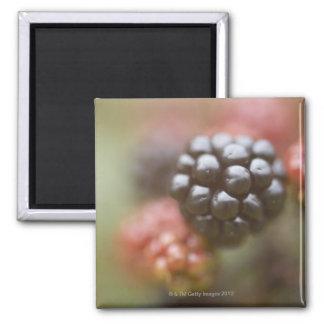 Blackberries close up. square magnet