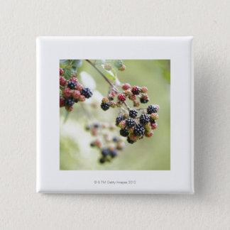 Blackberries growing outdoors. 15 cm square badge