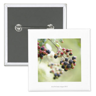Blackberries growing outdoors. 15 cm square badge