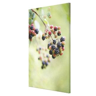 Blackberries growing outdoors. canvas print