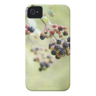 Blackberries growing outdoors. iPhone 4 covers