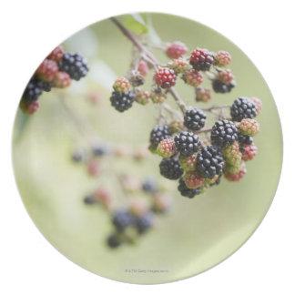 Blackberries growing outdoors. plate