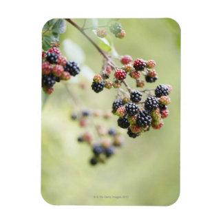 Blackberries growing outdoors. rectangular photo magnet