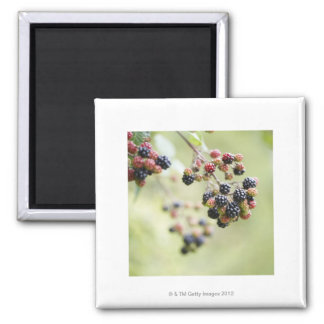 Blackberries growing outdoors. square magnet
