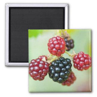 blackberries fridge magnet