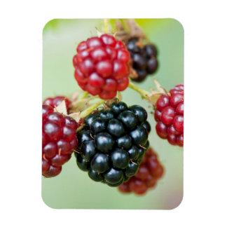 blackberries flexible magnet