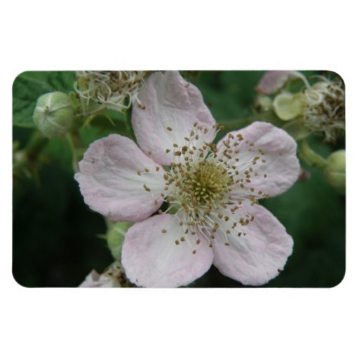 Blackberry Flower Macro Premium Magnet