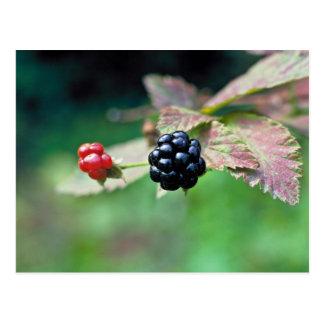 Blackberry Postcard