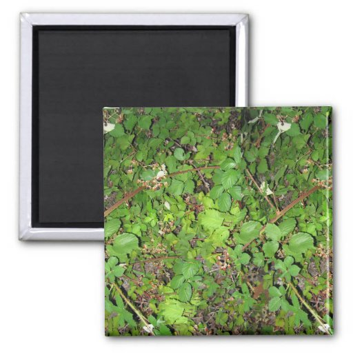 Blackberry vines berries leaves nature photo on fridge magnets