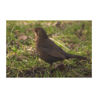 Blackbird Canvas Print