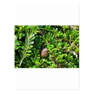 Blackbird in a laurel bush postcard