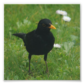 Blackbird On English Lawn Photo Print