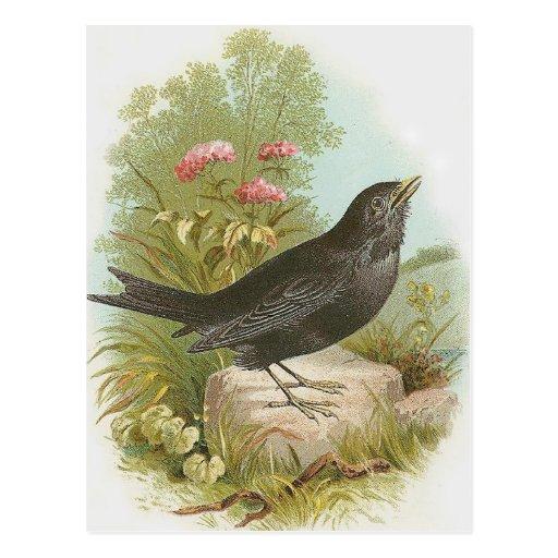 Blackbird Post Card