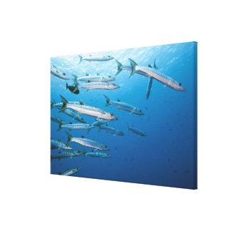 Blackfin Barracuda Canvas Print