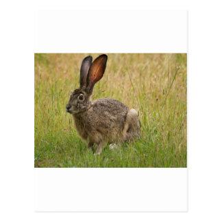 Blacktailed Jackrabbit in Field Postcard