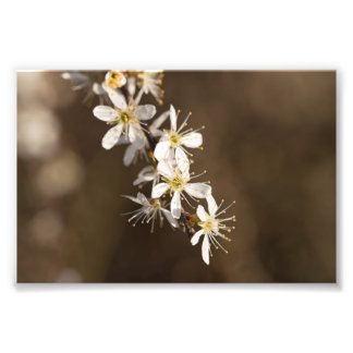 Blackthorn Blossom Photo Print