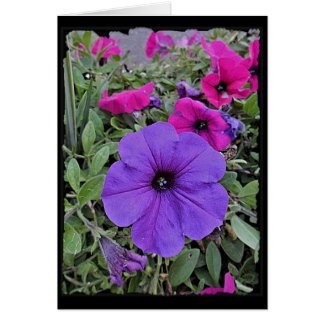 Blank Greeting Card Petunias in the Garden