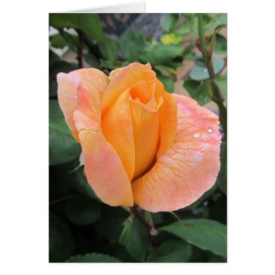 Blank Note Card--Orange Rose With Rain Drops Card
