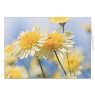 Blank Note Card - Sunlit Yellow Marguerite Daisy
