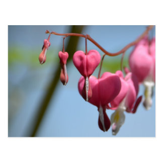 Bleeding Heart Flowers Post Cards