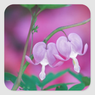 Bleeding Hearts Connecting In Garden. Credit Square Stickers