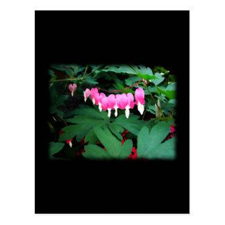 Bleeding Hearts. Pink Flowers. Postcard