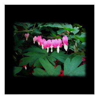 Bleeding Hearts. Pink Flowers. Poster