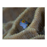 Blenny fish Blenniidae) poking it's head out Post Cards