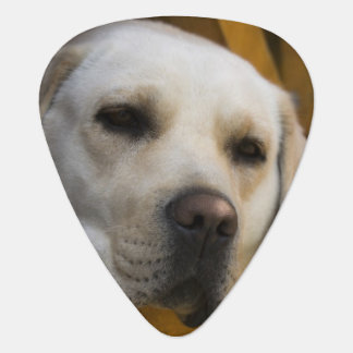 Blond Labrador retriever, Patagonia, Chile Plectrum