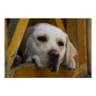 Blond Labrador retriever, Patagonia, Chile Poster