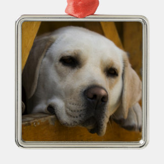 Blond Labrador retriever, Patagonia, Chile Silver-Colored Square Decoration