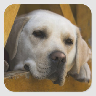 Blond Labrador retriever, Patagonia, Chile Square Sticker
