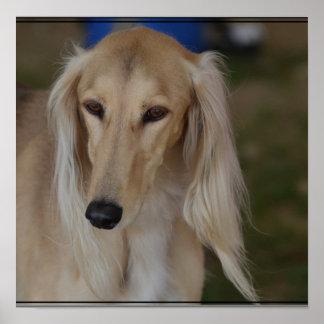 Blonde Saluki Dog Poster