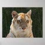 Blonde Tiger