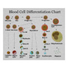 Blood Cell Differentiation Chart