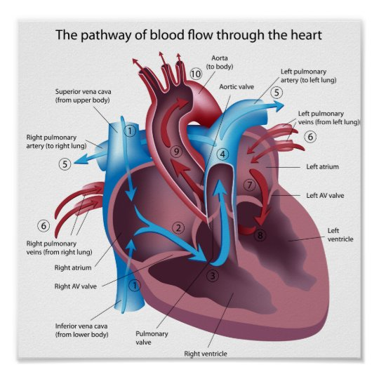 Blood flow through the heart poster | Zazzle.co.uk