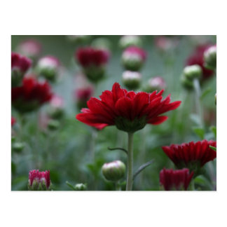 Blood Red Mums Postcard