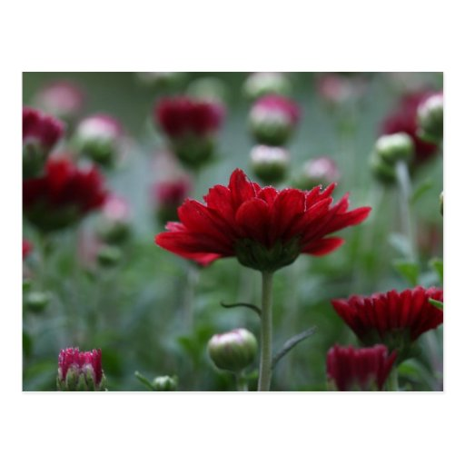 Blood Red Mums Postcards
