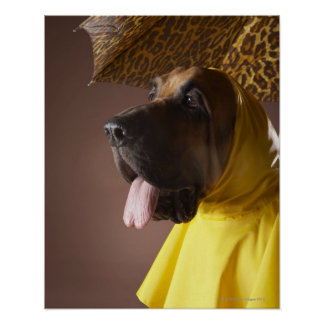 Bloodhound dog. poster