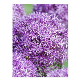 Blooming Allium Flowers  Postcard