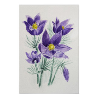 Blooming blue violet pasque flower poster