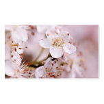 Blooming Cherry Blossoms Pack Of Standard Business Cards